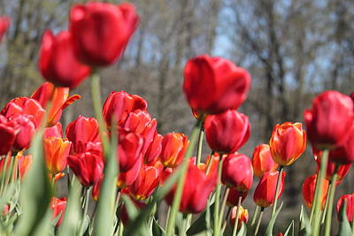 Photograph - Red Tulips by Monica Whaley