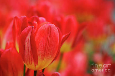 Photograph - Red Tulips by Nicholas Burningham