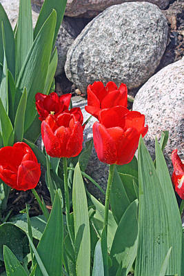 Photograph - Red Tulips On The Rocks by Kay Novy