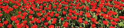 Photograph - Red Tulips Panorama by Jill Lang