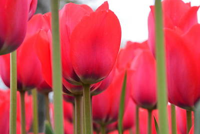 Photograph - Red Tulips by Randy J Heath