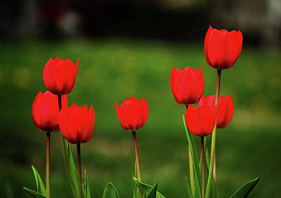 Photograph - Red Tulips by Rowana Ray