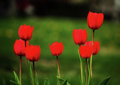 Photograph - Red Tulips by Rowana Ray