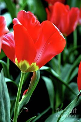 Photograph - Red Tulips by Sheila Ping