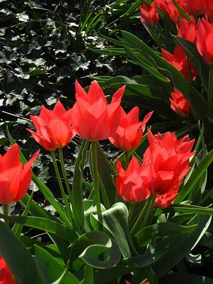 Photograph - Red Tulips by Sherry Oliver