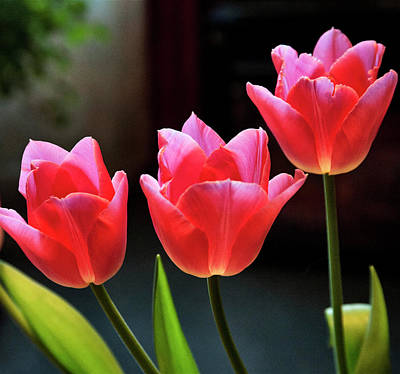 Photograph - Red Tulips by Vladimir Kholostykh