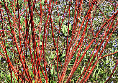 Photograph - Red Twig Dogwood by Cate Franklyn