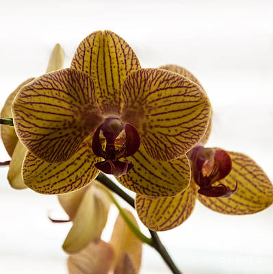 Photograph - Red Veined Orchid by Kirt Tisdale