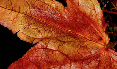Photograph - Red Veins by Cate Franklyn