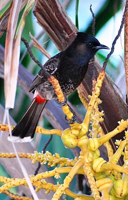 Photograph - Red-vented Bulbul by Andrew Dinh