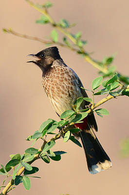 Photograph - Red Vented Bulbul by Balram Panikkaserry