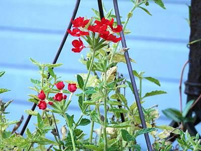 Photograph - Red Verbena Joy by Belinda Lee
