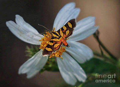 Photograph - Red-waisted Florella Moth by Myrna Bradshaw