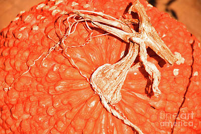 Photograph - Red Warty Hubbard by Ray Shrewsberry