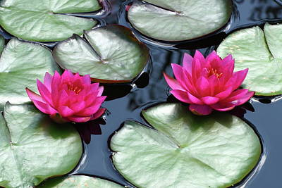 Photograph - Red Water Lilies by Lou Ford
