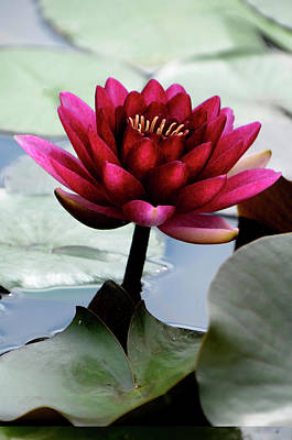 Photograph - Red Water Lily by Ann Bridges