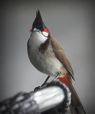 Red Whiskered Bulbul Photograph - Red-whiskered Bulbul by Colin Shearer