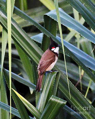 Red Whiskered Bulbul Photograph - Red Whiskered Bulbul by Jennifer Robin