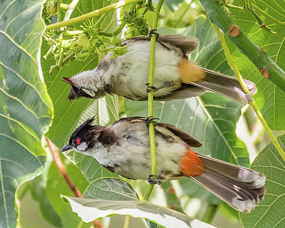 Red Whiskered Bulbul Photograph - Red-whiskered Bulbul Pair by Morris Finkelstein