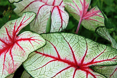 Caladiums Photograph - Red White And Green by Suzanne Gaff