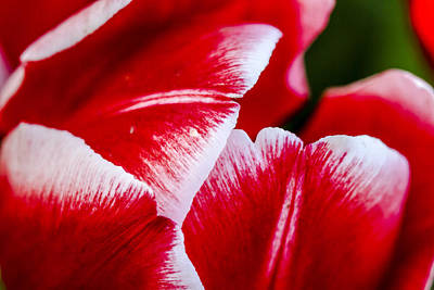 Photograph - Red White And Tulips by Teri Virbickis