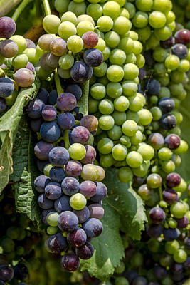 Red Wine Grapes In The Vineyard Art Print by Teri Virbickis