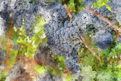 Photograph - Red Wine Grapes On The Vine In Sonoma by Brandon Bourdages