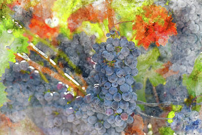 Red Wine Grapes On The Vine In The Fall Art Print