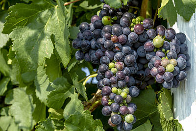 Red Wine Grapes On The Vine Art Print by Teri Virbickis