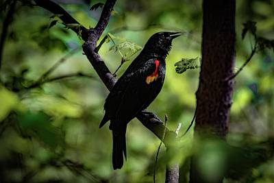 Photograph - Red Wing Song by Ray Congrove