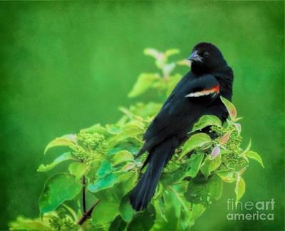 Photograph - Red-winged Black Bird by Elizabeth Winter