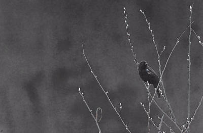 Photograph - Red Winged Black Bird by Karol Livote
