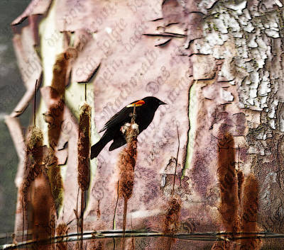 Photograph - Red Winged Black Bird On A Cattail - Meadow - Marsh by Marie Jamieson