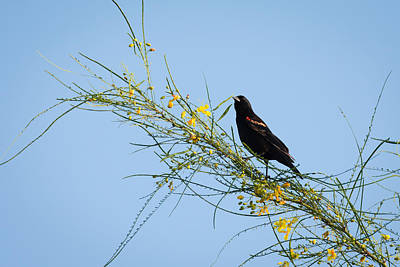 Photograph - Red Winged Black Bird On A Retama Tree by Debra Martz