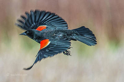 Photograph - Red Winged Blackbird-01 by Paul Vitko