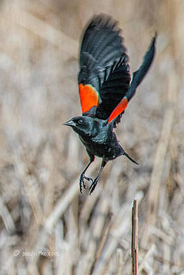 Photograph - Red Winged Blackbird-02 by Paul Vitko