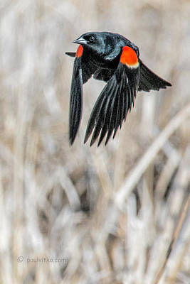 Photograph - Red Winged Blackbird-03 by Paul Vitko