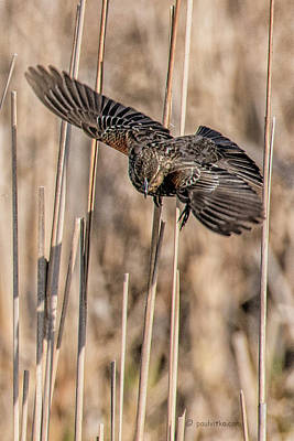 Photograph - Red Winged Blackbird-04_female by Paul Vitko