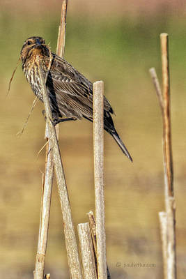 Photograph - Red Winged Blackbird-05_female by Paul Vitko