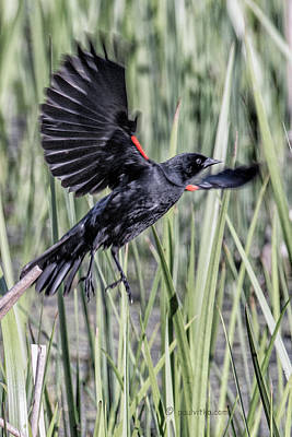 Photograph - Red Winged Blackbird-06 by Paul Vitko