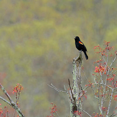 Photograph - Red Winged Blackbird 2017 Square by Bill Wakeley