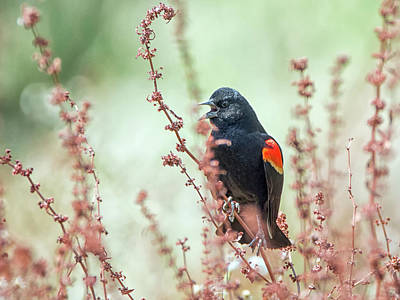 Photograph - Red-winged Blackbird 8054-042918-1cr by Tam Ryan