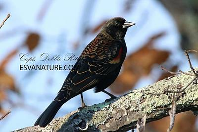 Photograph - Red-winged Blackbird 9751 by Captain Debbie Ritter