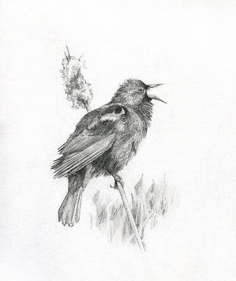 Drawing - Red-winged Blackbird by Abby McBride