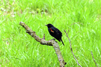 Photograph - Red-winged Blackbird Against Green by Bill Jordan