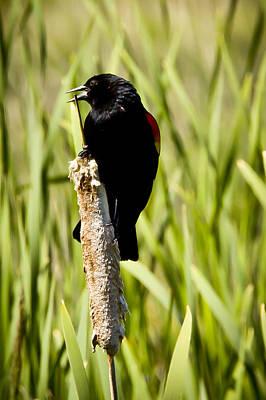 Photograph - Red-winged Blackbird by Albert Seger