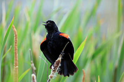 Photograph - Red-winged Blackbird At Miner's Marsh, Nova Scotia by Gary Corbett