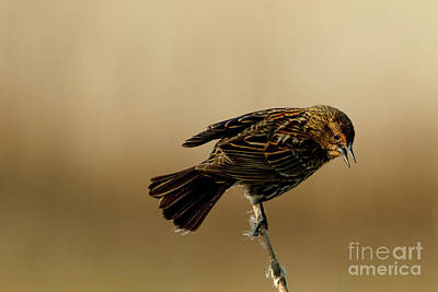 Photograph - Red Winged Blackbird by Beve Brown-Clark Photography