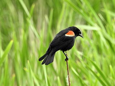 Photograph - Red-winged Blackbird by Brian Chase