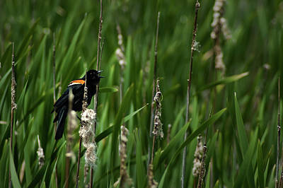 Photograph - Red-winged Blackbird Calling by  Onyonet  Photo Studios